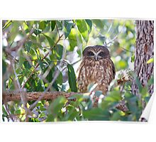 Boobook owl 2 Poster