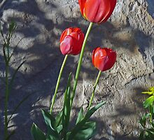 Red Tulips by shutterbug941