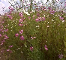 Cosmos beauty 2 by Maree  Clarkson