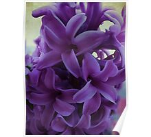Easter Hyacinth Poster