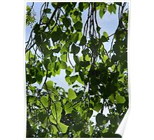 """Cottonwood Tree with """"Cotton"""" Poster"""