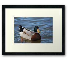 Mallard Drake ( Green Head ) Framed Print