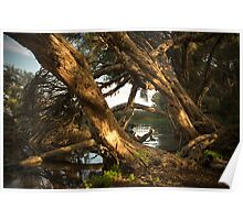 Tangled Limbs of Paperbark Poster