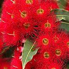 Eucalyptus by Joy Watson