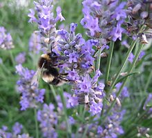 Bumble bee on lavender by pierredubrelle