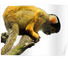 Squirrel Monkey with Something Poster
