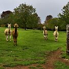 Alpacas - Campanella Cottage, Mt Wilson NSW by Bev Woodman
