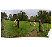 Alpacas - Campanella Cottage, Mt Wilson NSW Poster