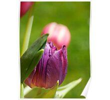 Rainbow Tulips, Bristol, UK Poster