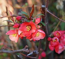 Quince Blossoms by Linda  Makiej