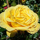 Golden Rose .. photo by LoneAngel
