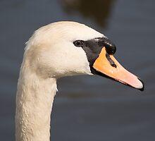 Mute Swan by Robert Carr