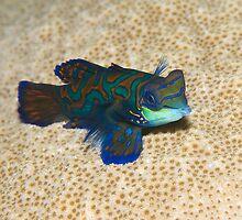 Single Mandarinfish by Valerija S.  Vlasov