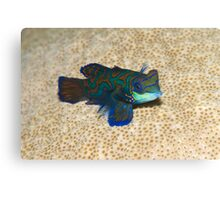 Single Mandarinfish Canvas Print