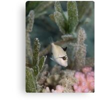 Baby Triggerfish Canvas Print