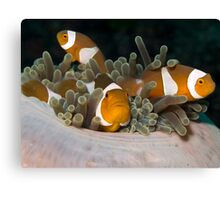 Bunch of Clownfish Canvas Print