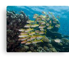 Goatfish School Canvas Print