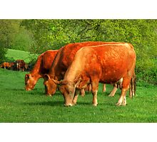 Cows - rural scene Photographic Print