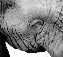 Elephant Close Up South Africa by Craig Ringland