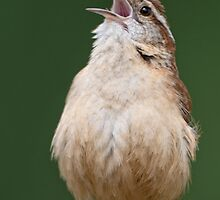 Wren Belting it Out by Bonnie T.  Barry