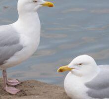 Herring Gulls Sticker