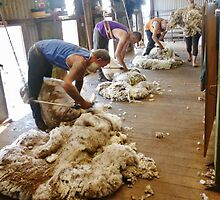 Shearing Merino Sheep by Dianne Connolly