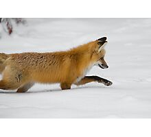 Fox in winter Photographic Print