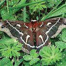 Cecropia Moth by Dave Davis