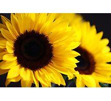 Two beautiful sunflowers Photographic Print
