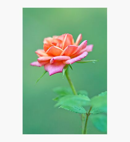Tiny Rose Photographic Print