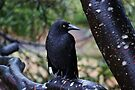Black Currawong by Kayleigh Walmsley