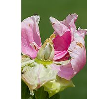 dried peony in the garden Photographic Print