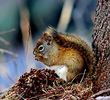 American Red Squirrel by Kathleen Daley