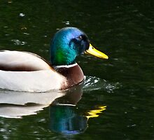 Mallard (1) by Hayley Musson