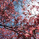 under a pink Dogwood Tree by nastruck