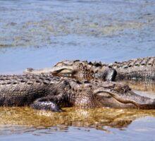 Gators Napping Sticker