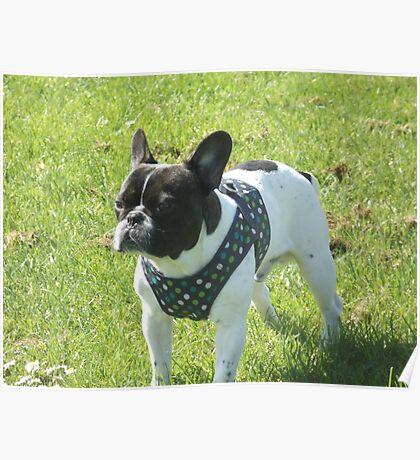 Boris The French Bulldog Poster