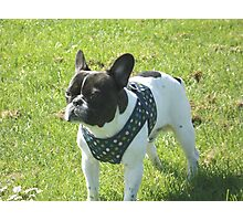 Boris The French Bulldog Photographic Print