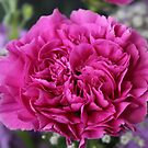 Purple Carnation by karina5