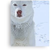 The Snow Queen - White Siberian Husky Portrait Canvas Print
