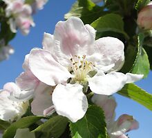 Apple Blossom by Barrie Woodward