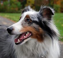 Autumnal Sheltie by jodi payne