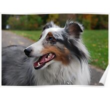 Autumnal Sheltie Poster
