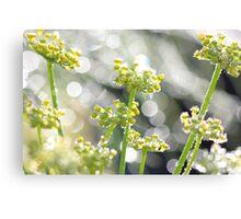 Fennel morning dew Canvas Print