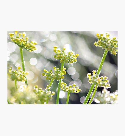 Fennel morning dew Photographic Print