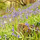 Bluebell Bonanza by Stephen Knowles