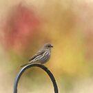 Female Finch by KathleenRinker