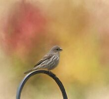 Female Finch by KathleenRinker