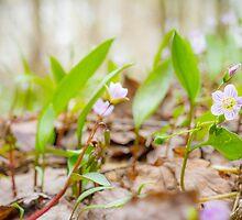 Spring Beauty- Claytonia virginica by er1kksen