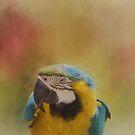 Macaw by KathleenRinker